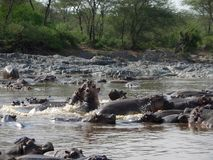 Hippos in Africa Royalty Free Stock Photos
