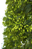 Lots of Hops Stock Photos
