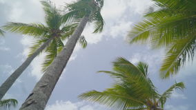 Lots of huge lush tall palms stock video footage