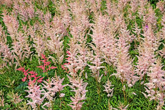 Lots inflorescences of pink Astilbe Stock Photos