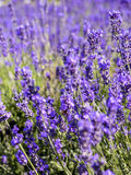 A lots of lavender flower. 1 Royalty Free Stock Photos
