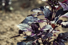 Lots of leaves growing ripe purple basil closeup.Leaves of red b Royalty Free Stock Photos