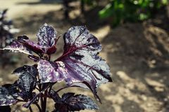 Lots of leaves growing ripe purple basil closeup.Leaves of red b Stock Photos