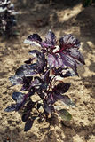 Lots of leaves growing ripe purple basil closeup.Leaves of red b Royalty Free Stock Image