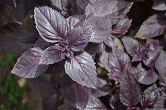 Lots of leaves growing ripe purple basil. Stock Image
