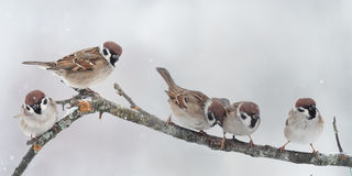 Lots of little birds sitting on a branch during a snowfall royalty free stock photos