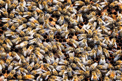 Lots and Lots of Bees Royalty Free Stock Photography