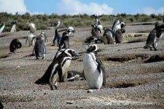 Lots magellanic penguins digging burrow Royalty Free Stock Photos
