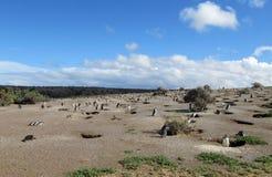Lots magellanic penguins digging burrow Stock Photo