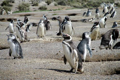Lots magellanic penguins Stock Image