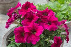 Lots of magenta color petunia on a clay pot. royalty free stock photography