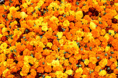 Lots of marigolds. Large bucket full of marigolds in different shades Royalty Free Stock Photo