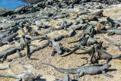 Lots of Marine Iguanas Stock Photos