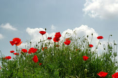 Lots Mohnblumen auf dem Hügel über blauem Himmel Stockbilder