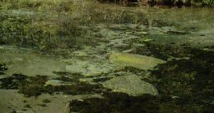 Lots of mossy rocks on the spring 4K FS700 Odyssey 7Q. Lots of mossy rocks seen underneath the clear water from a spring 4K FS700 Odyssey 7Q stock footage