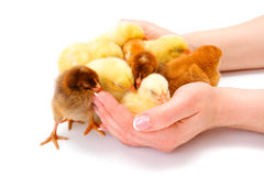 Lots of newborn chickens being protected by human hands Stock Photos