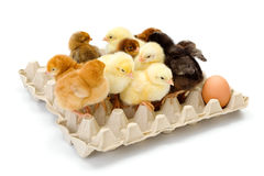 Lots of newborn chickens in egg tray Royalty Free Stock Images
