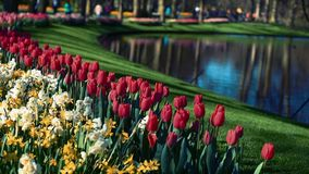 Lots of nice tulips and narcissuses. Panoramic frame. Park at nice day. People walking and talking.  stock video