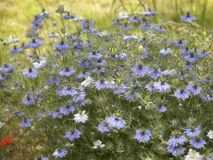 Lots of nigella damascena flowers Royalty Free Stock Images
