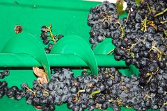Lots Of Grapes In The Shelling Machine Stock Photo