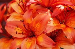 Free Lots Of Orange-red Flowers In A Bundle Royalty Free Stock Photo - 154826395