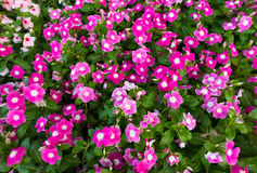 Free Lots Of Periwinkles, Top View Stock Images - 74785884
