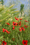 Lots Of Red Poppies In The Wheat Royalty Free Stock Photo