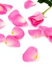 Lots Of Rose Leafs With Pink Rose Royalty Free Stock Photo
