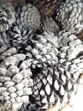 Lots of open and closed Pine cones. In a pile stock image