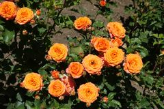 Lots of orange flowers of rose. In the garden stock image