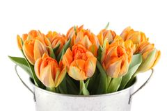 Lots of orange tulips. Beautiful bouquet of orange tulips in a aluminum pail. Isolated royalty free stock photo