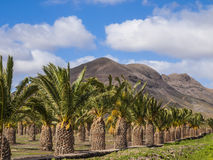 Lots of Palm Trees Stock Images