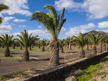 Lots of Palm Trees Royalty Free Stock Photos