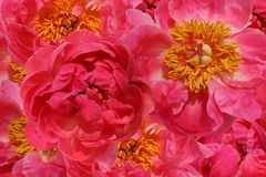 Lots of Peonies Royalty Free Stock Photo