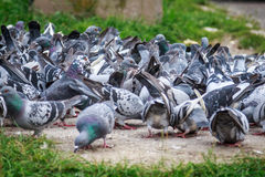 Lots of pigeons. Eating bread, close-up of  a group of birds Royalty Free Stock Photos