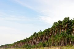 Lots of pine trees Stock Image