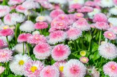A lots of pink bellis pomponette.  Royalty Free Stock Photos