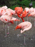 Lots of pink flamingo standing on the shore of lake Stock Photography