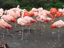 Lots of pink flamingo standing on the shore of lake Stock Image
