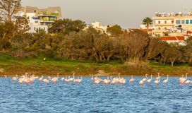 Lots of pink flamingos marching across the lake with residential buildings in the background, Larnaca salt lake. Cyprus stock photos