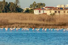 Lots of pink flamingos marching across the lake with residential buildings in the background, Larnaca salt lake. Cyprus royalty free stock images