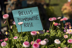 Lots of pink flowers, Pomponette Rose or English Daisy, blooming against a sign naming them. Lots of pink flowers, Pomponette Rose or English Daisy, blooming Stock Photos