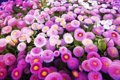 Southern daisy - English daisies - bellis sylvestris Stock Photo