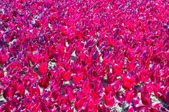 A lots of pink tulip petals as dacoration Stock Photography