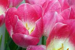 Lots of pink tulips Stock Images