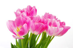 Lots of pink tulips Royalty Free Stock Photo