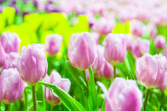 Lots of pink & white tulips Royalty Free Stock Photo