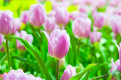 Lots of pink & white tulips Stock Photo