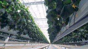 Lots of plants grow in industrial greenhouse. 4K. Lots of plants grow in special beds in one greenhouse stock video