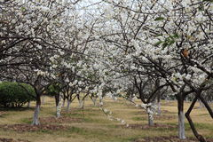 A lots of plum blossom Royalty Free Stock Photos